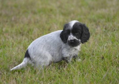 Chiot cocker anglais disponible le 24 12 18