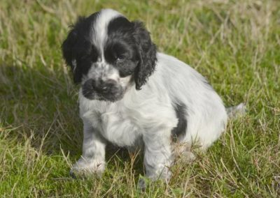 Chiot cocker anglais disponible le 24 12 2018